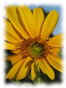 sunflower_open
